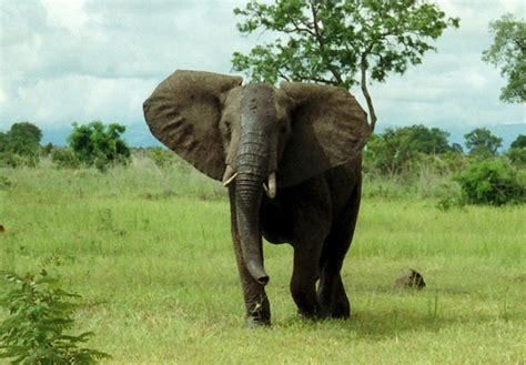 Why is an elephant called a herbivorous animal? - Quora