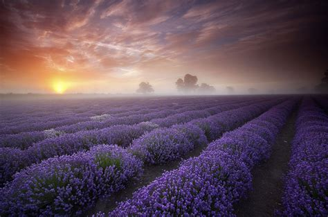 Lavender Fields, UK and France | 20 Unbelievably beautiful