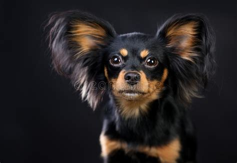 Russian Long Haired Toy Terrier Dog Stock Image - Image of