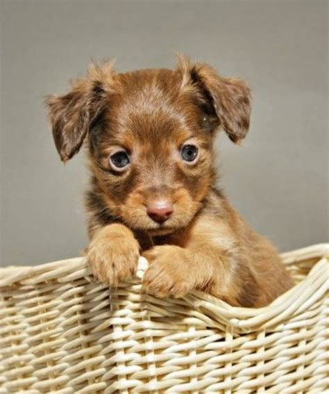 Russian Toy Terrier vs Chihuahua - Breed Comparison