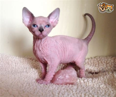 sphynx female kitten SEAL POINT AND WHITE PATCHED | Durham