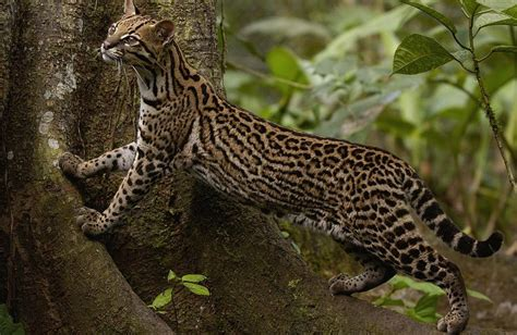 Pin by Joel Whittom on Meow   Ocelot, Small wild cats, Big