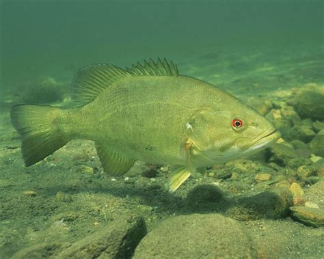 Lake Erie Perch Fishing Report Eastern Basin - All About