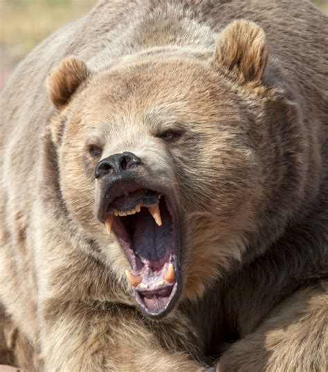 Alaska biologist 'lucked out' that Shuyak Island grizzly