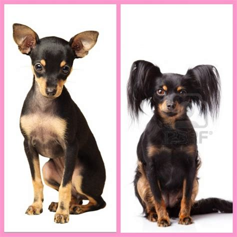 32 best Russian Toy Terrier images on Pinterest | Russian