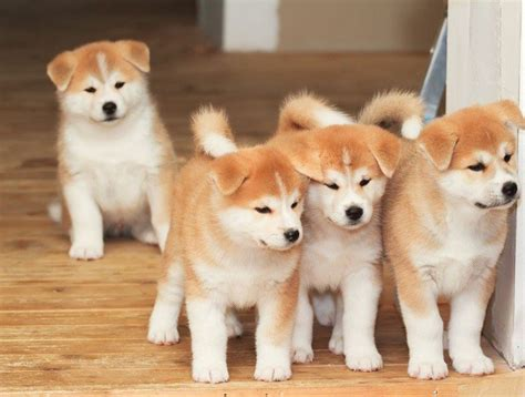 Akita Inu Puppies FOR SALE ADOPTION from hamilton Auckland