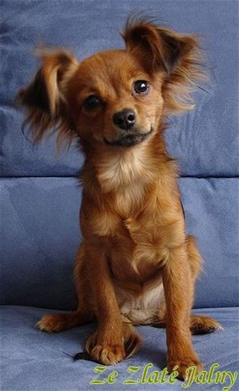 The 25+ best Russian toy terrier ideas on Pinterest | Toy