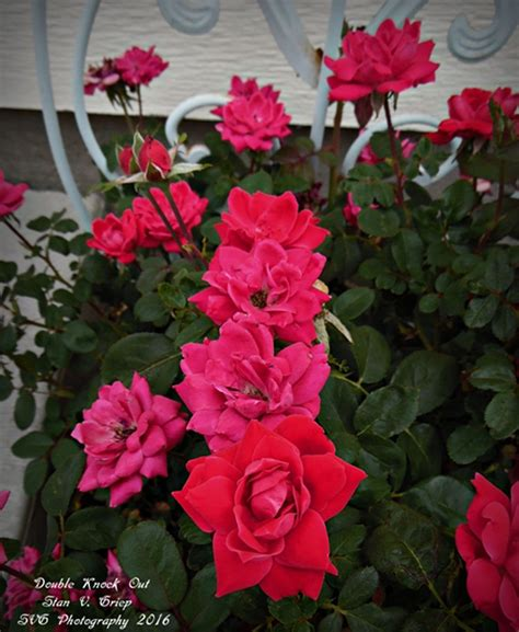 What Are Easy Care Roses - Hard To Kill Roses For The Garden