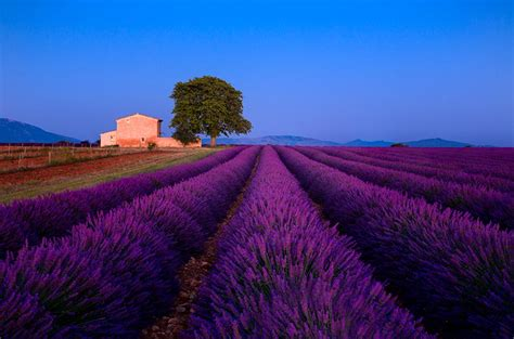 On the Lavender Trail