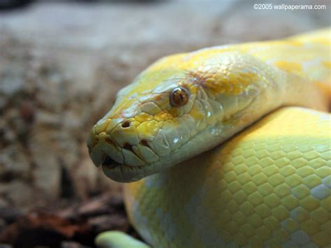 Yellow Python Snake Wallpaper Free HD Backgrounds Images