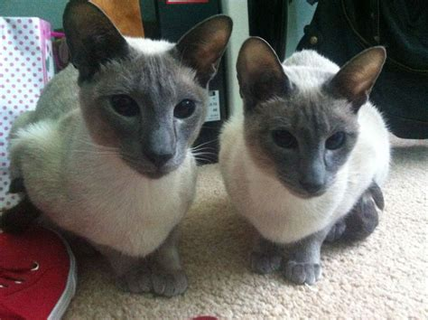 Blue Point Siamese Brother and Sister | Oldham, Greater