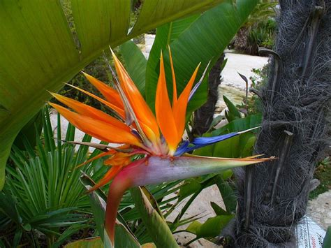 Pruning Birds Of Paradise - Information On How To Prune A