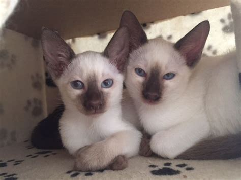 Chocolate Point Siamese Male Kittens | Clevedon, Somerset