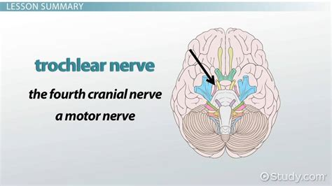 Trochlear Nerve: Function, Damage & Palsy - Video & Lesson
